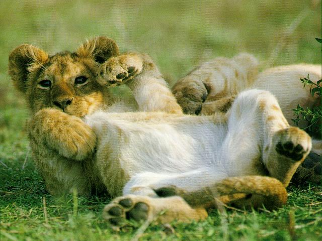 white lion cubs wallpaper. love D lion d lion white lions Happy cubs areddreamstime, a voluptuous