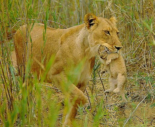 lion and lioness and cub. More Lion Pictures